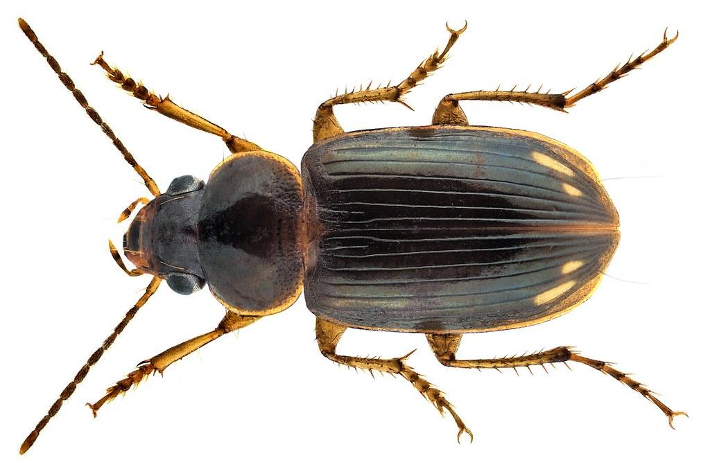 Stenolophus (Egadroma)  smaragdulus (Fabricius, 1798)