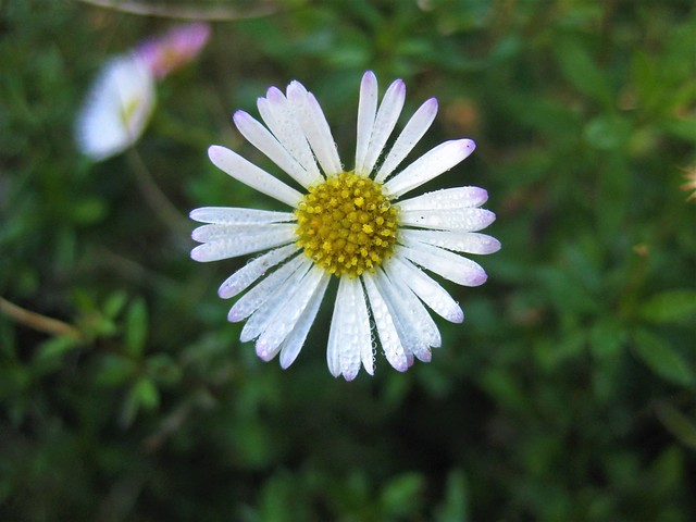 Dewdrops on Daisies