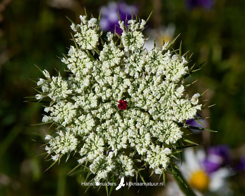 Wilde peen (Daucus carota)-850_3995
