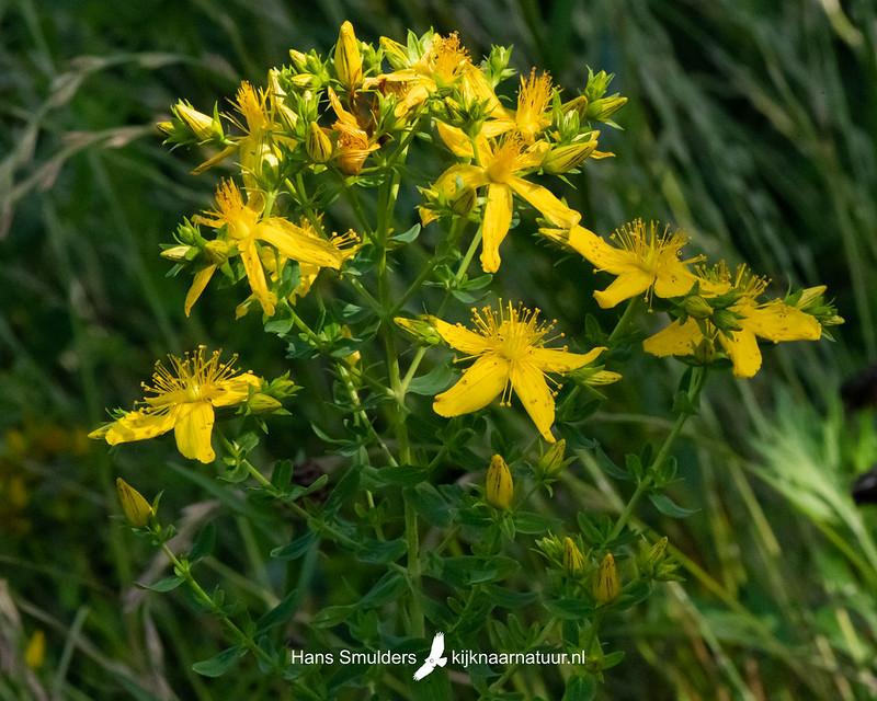 sint-janskruid (Hypericum perforatum)-850_4031