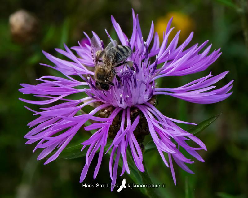 Knoopkruid (Centaurea jacea)-850_4085