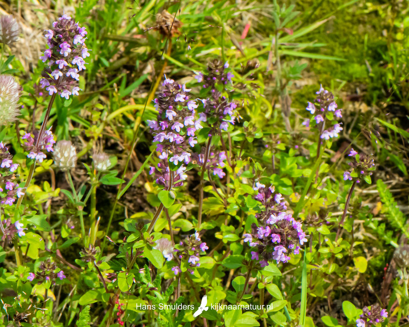kleine tijm (Thymus serpyllum)-850_4124