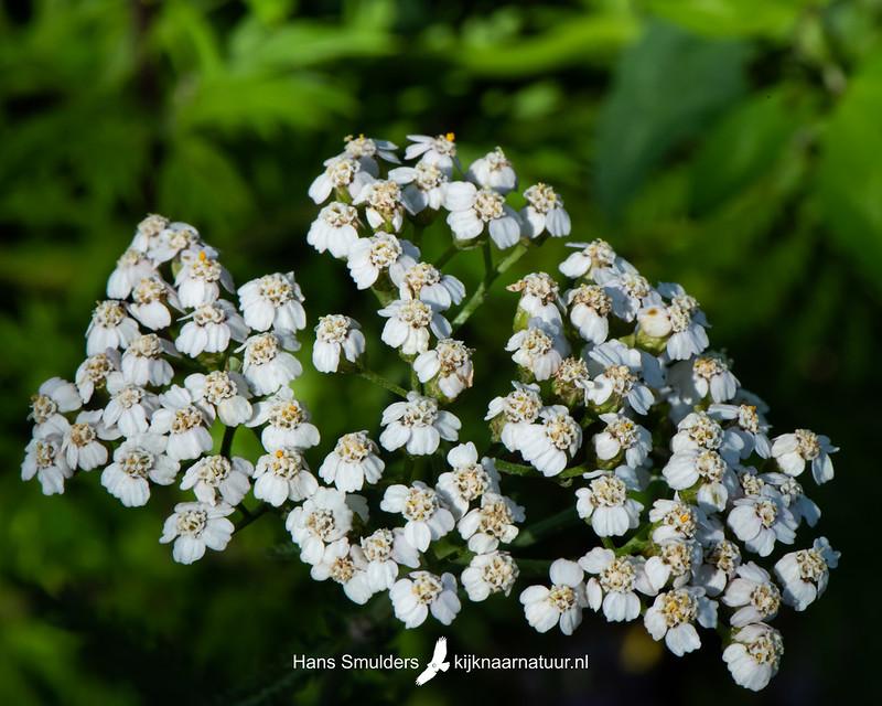 Duizendblad (Achillea millefolium)-850_3968
