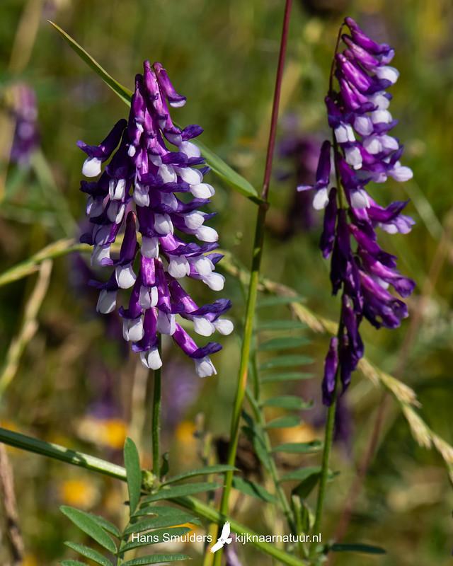 Bonte wikke (Vicia villosa)-850_4008