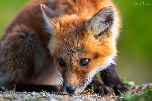 Red Fox Pup (2)