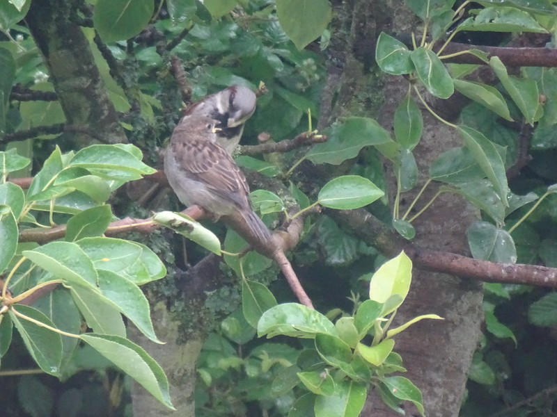 Feeding time for greedy sparrow-lings