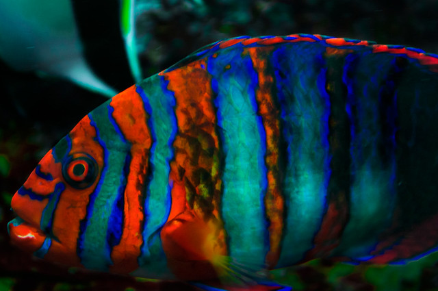 Harlequin Tuskfish 2