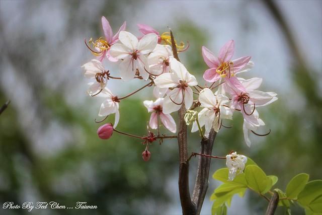 Cassia bakeriana 花旗木