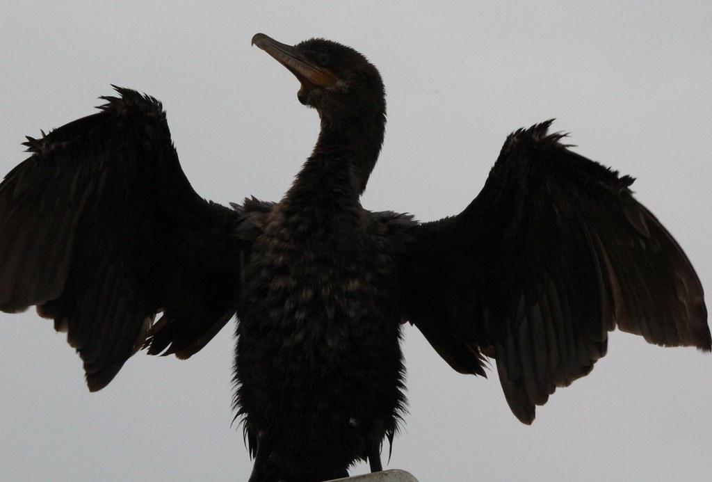 Wet Cormorant Anahauc NWR 7-21