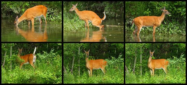 > > Dearest of Deer < <