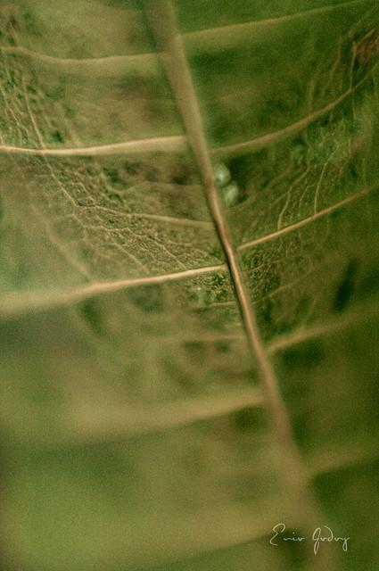 Dry Leaf - mango - 2
