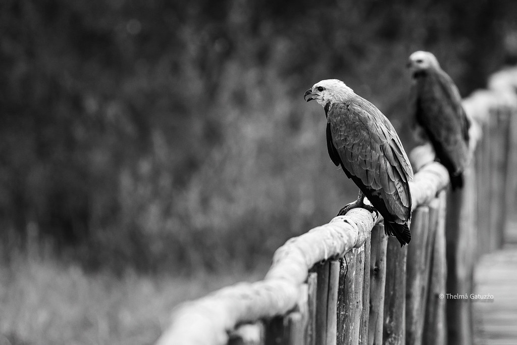 Black-collared Hawks