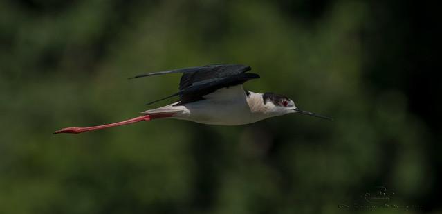 Himantopus himantopus - Cavaliere d'Italia - Échasse blanche - Black-winged stilt