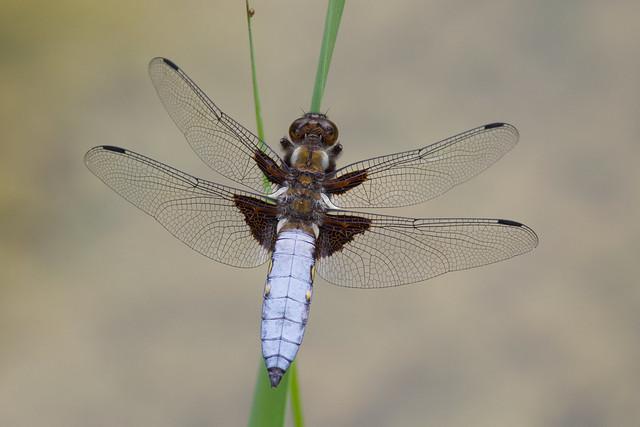 Broad-bodied Chaser ♂ Libellula depressa