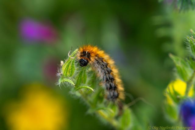 Cutest fluffy caterpillar