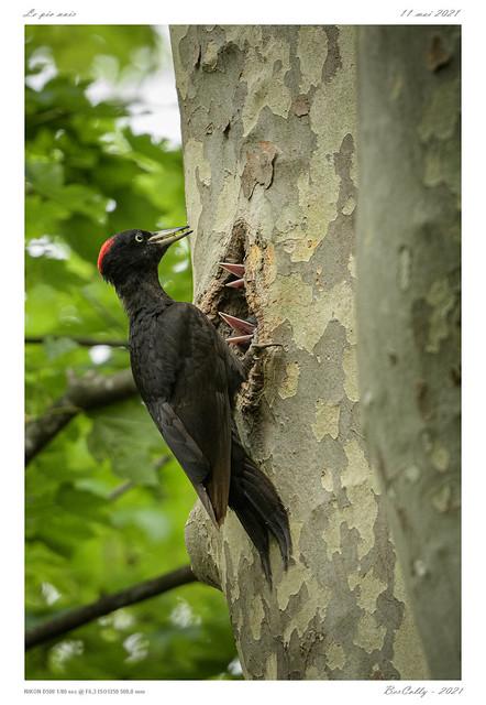 Le pic noir | Black woodpecker