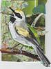 Golden Winged Warbler203