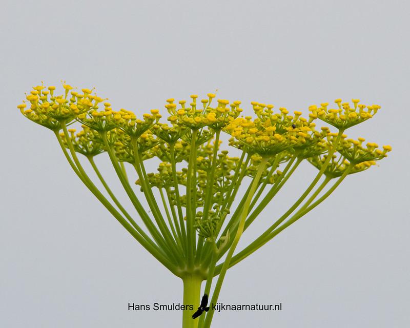 Dille (Anethum graveolens)850_4133
