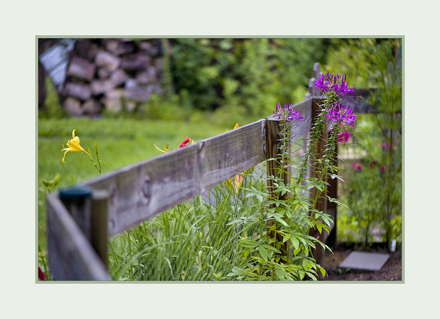 On The Fence (zoom in for the cleome)