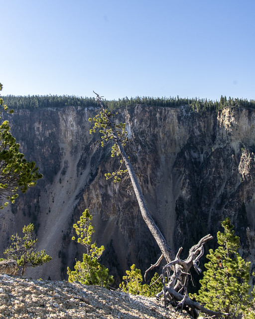 Tenacious Tree at Grand Canyon of the Yellowstone from Lookout Point