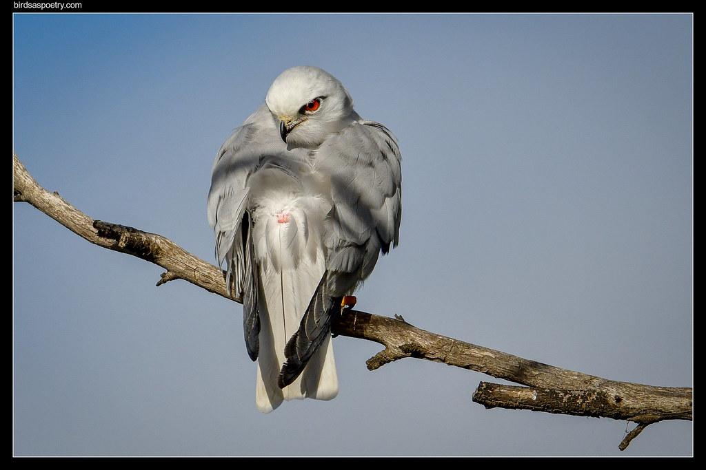Black-shouldered Kite: Call the Medic