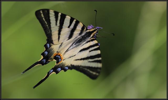 Iphiclides podalirius, Scarce swallowtail, Sail swallowtail, Pear-tree swallowtail, Prugasto jedarce, 20210707 Učka_213 ,AD 7158 Fa ,