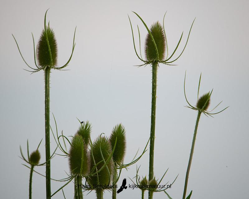 Grote kaardebol (Dipsacus fullonum)-850_4131