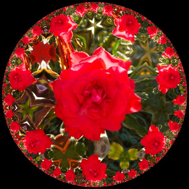 1708-RED ROSE EXPLOSION