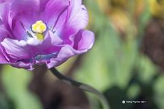 Tulip 3865