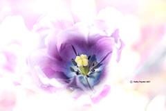 Tulip 3866