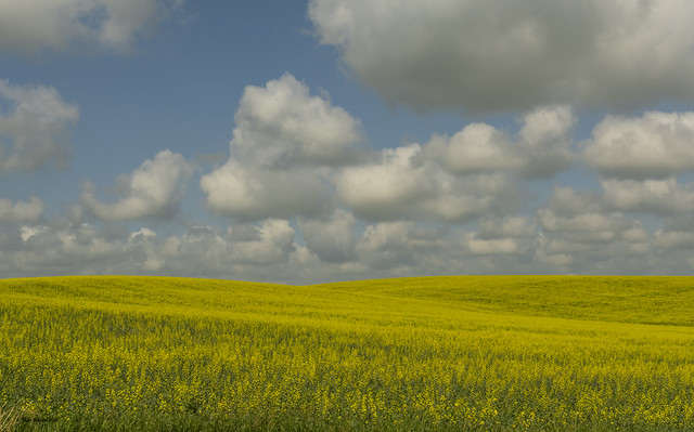 Clouds and Canola