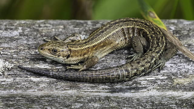 the marsh  dragon