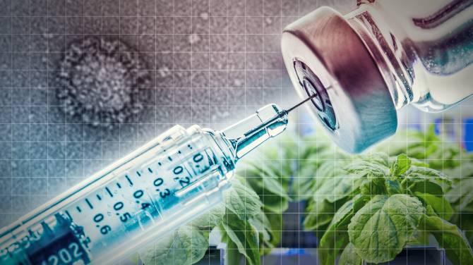 Vaccine có thể được sản xuất trên cây thuốc lá