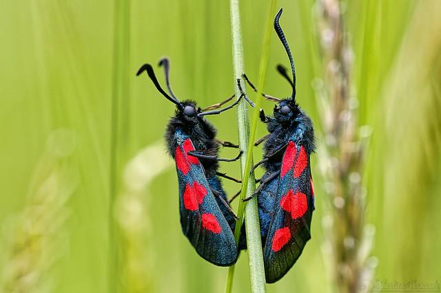 Zygaena filipendulae ♂♀ - Zygène de la filipendule ♂♀