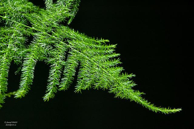 common asparagus fern (文竹)