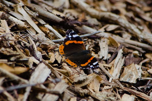 Red admiral resting on wood chips