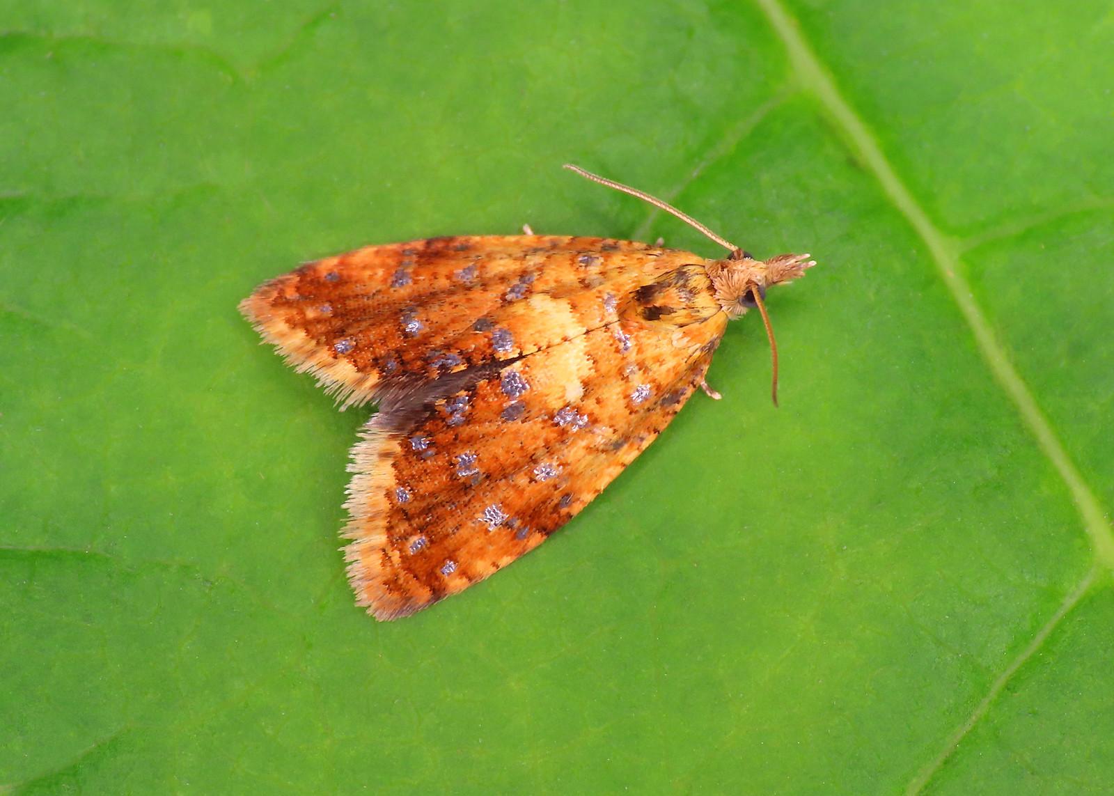 49.091 Yellow-spot Twist - Pseudargyrotoza conwagana