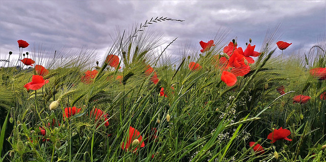 poppies ... poppies ... poppies