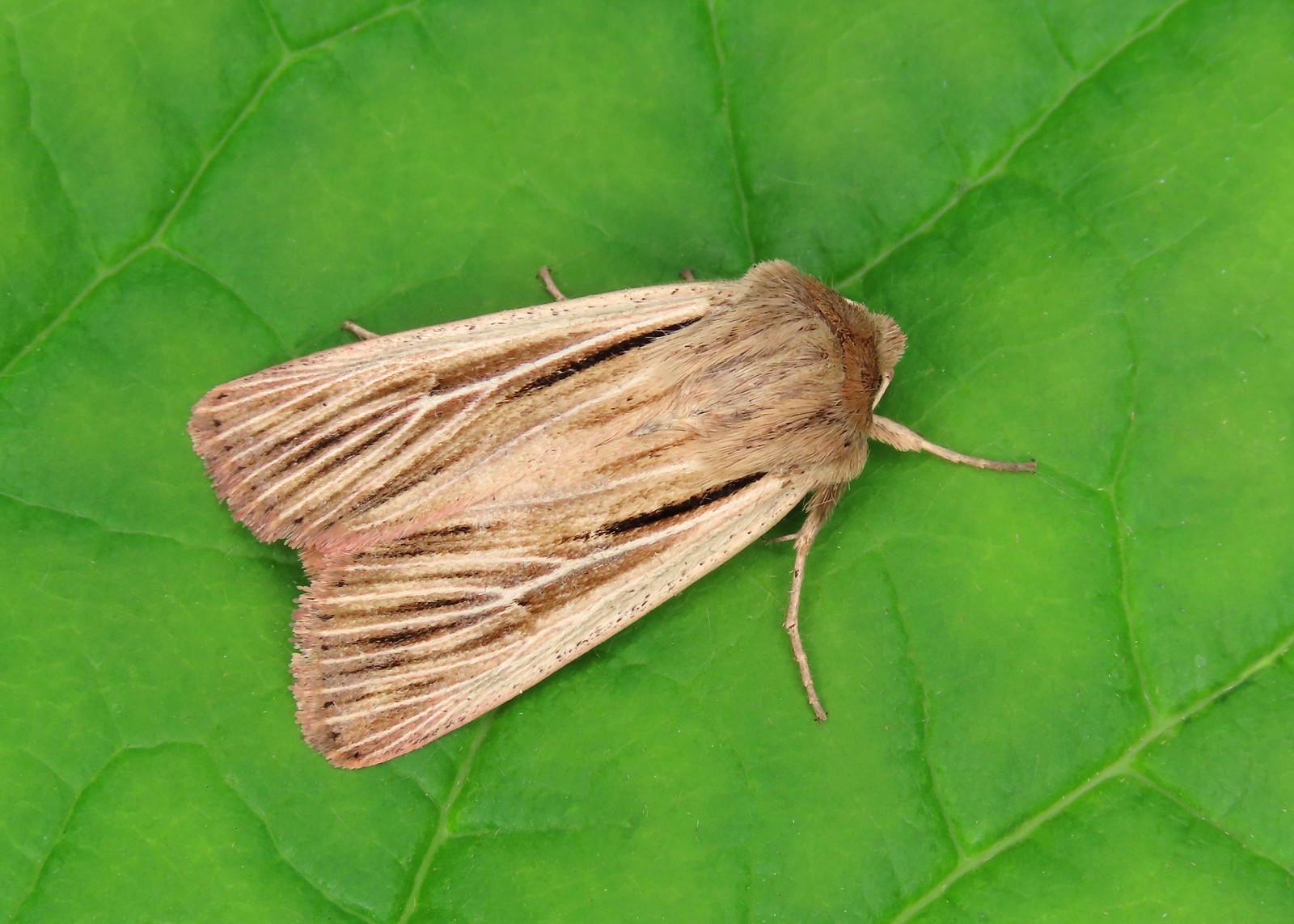 73.301 Shoulder-striped Wainscot - Leucania comma