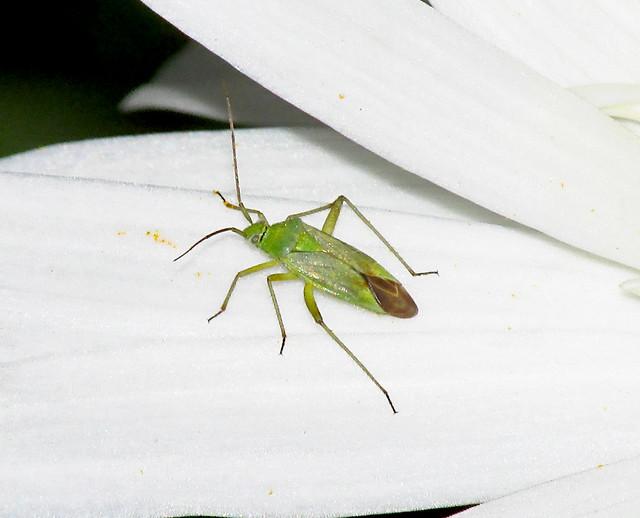 Mirid Bug (Possibly Calocoris alpestris) 2021-07-09. Aberkenfig, South Wales