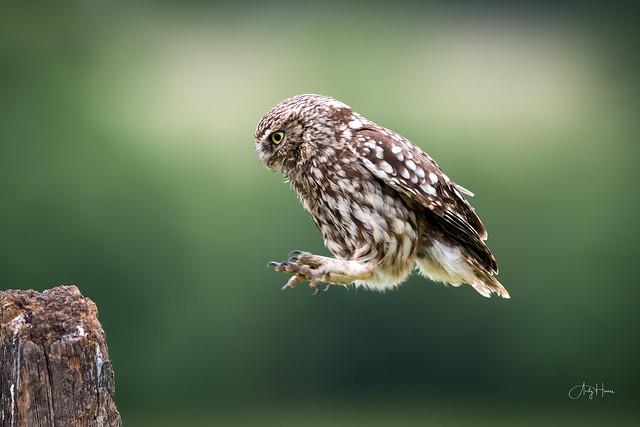 Little Owl Leap