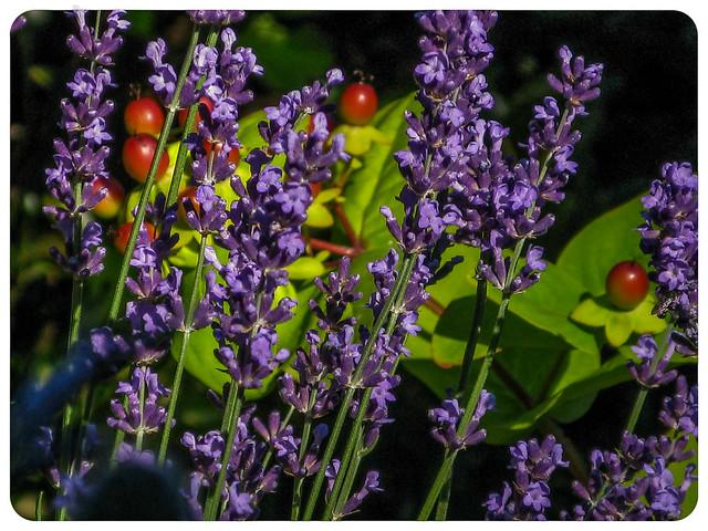 Lavender and Hypericum