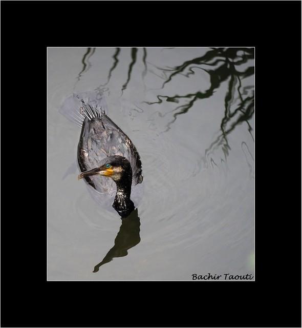 Cormorant -a
