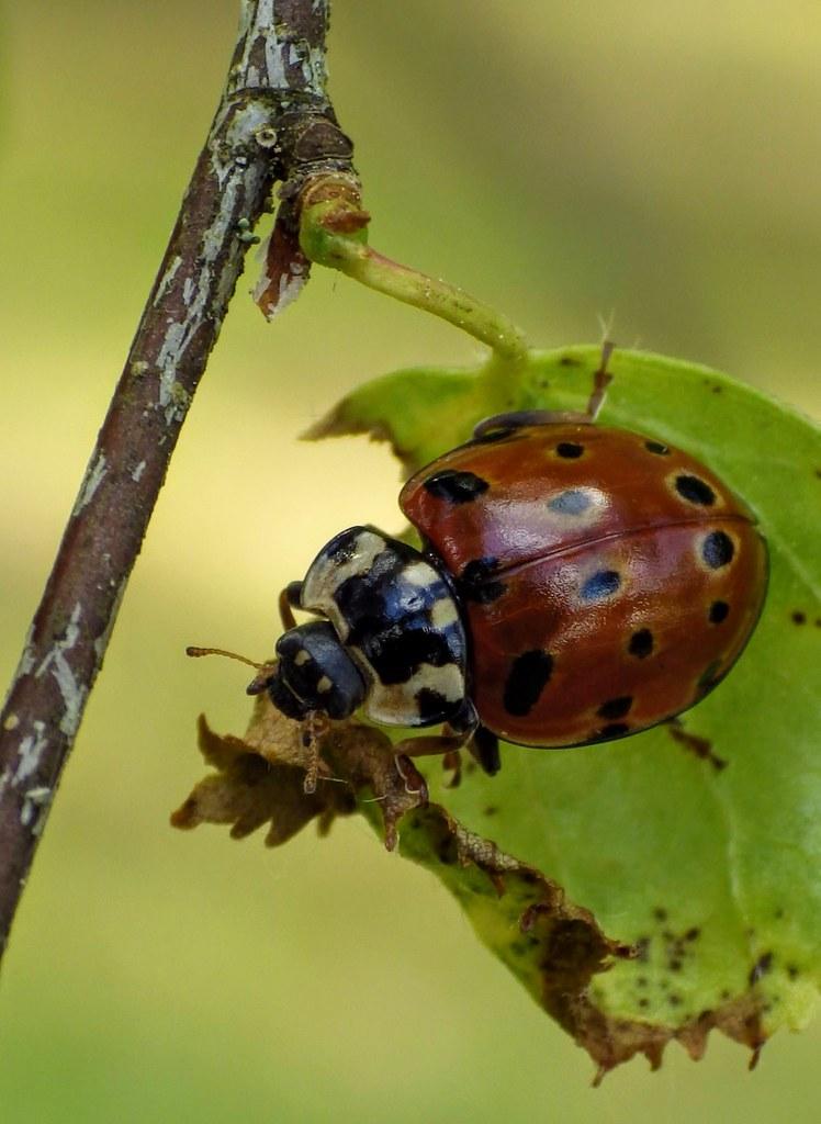 Silmiktriinu (Anatis ocellata) eyed ladybug