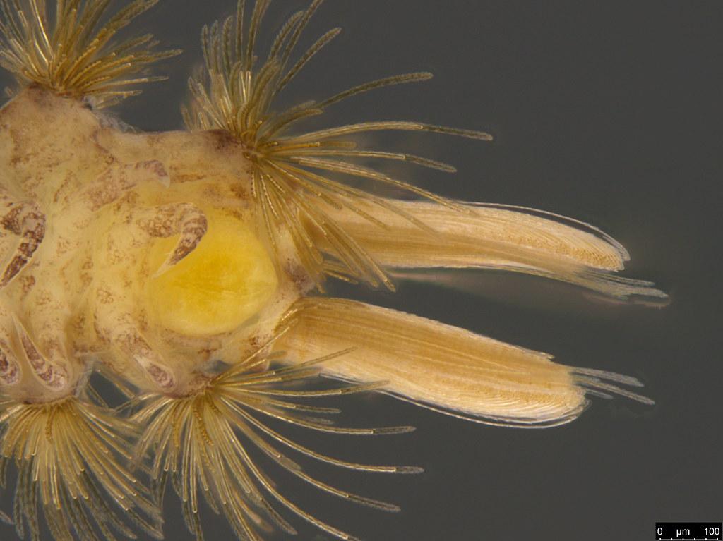 10i - Polyxenidae sp.