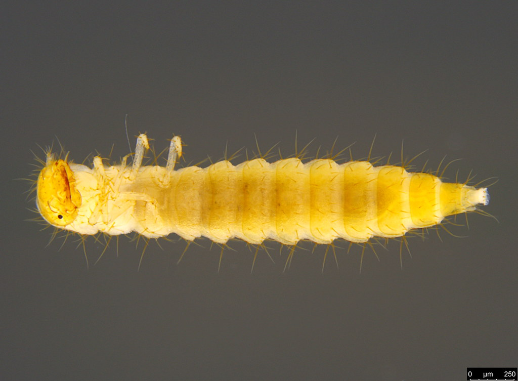 13b - Coleoptera sp.