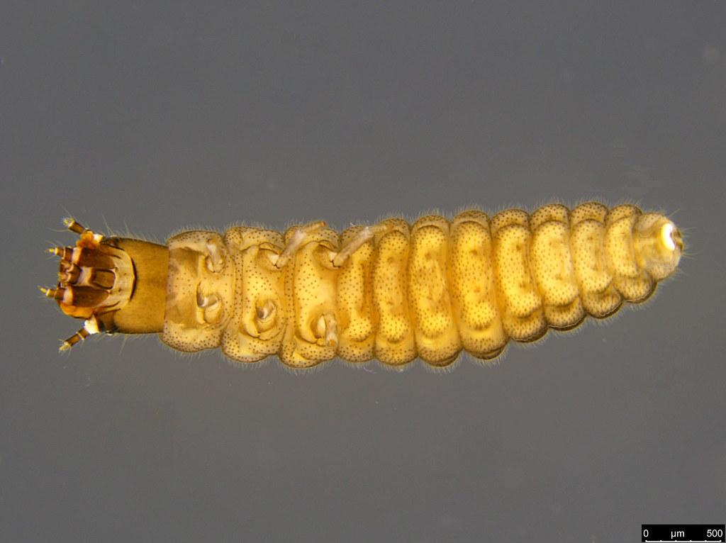 14c - Coleoptera sp.
