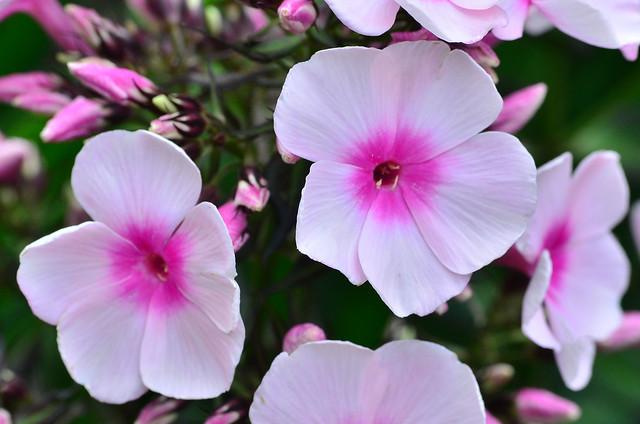 Pink Phlox in our garden