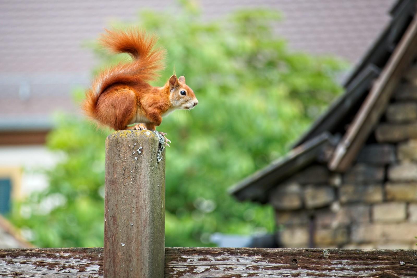 Eurasisches Eichhörnchen auf einem Pfosten