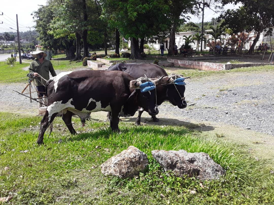 Leonaidis Columbié Silot con sus bueyes Pintura y Mulato, en Mabujabo, Baracoa